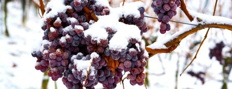Ice Wine: We Call it Ghiacciato: We are Probably the only Winery that Does.